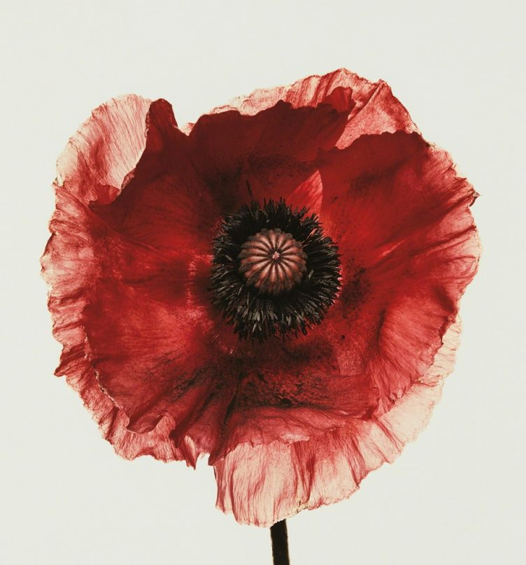 irving-penn-poppy-burgundy-new-york-1968